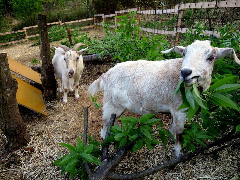 山羊と暮らす生活-雨のち晴