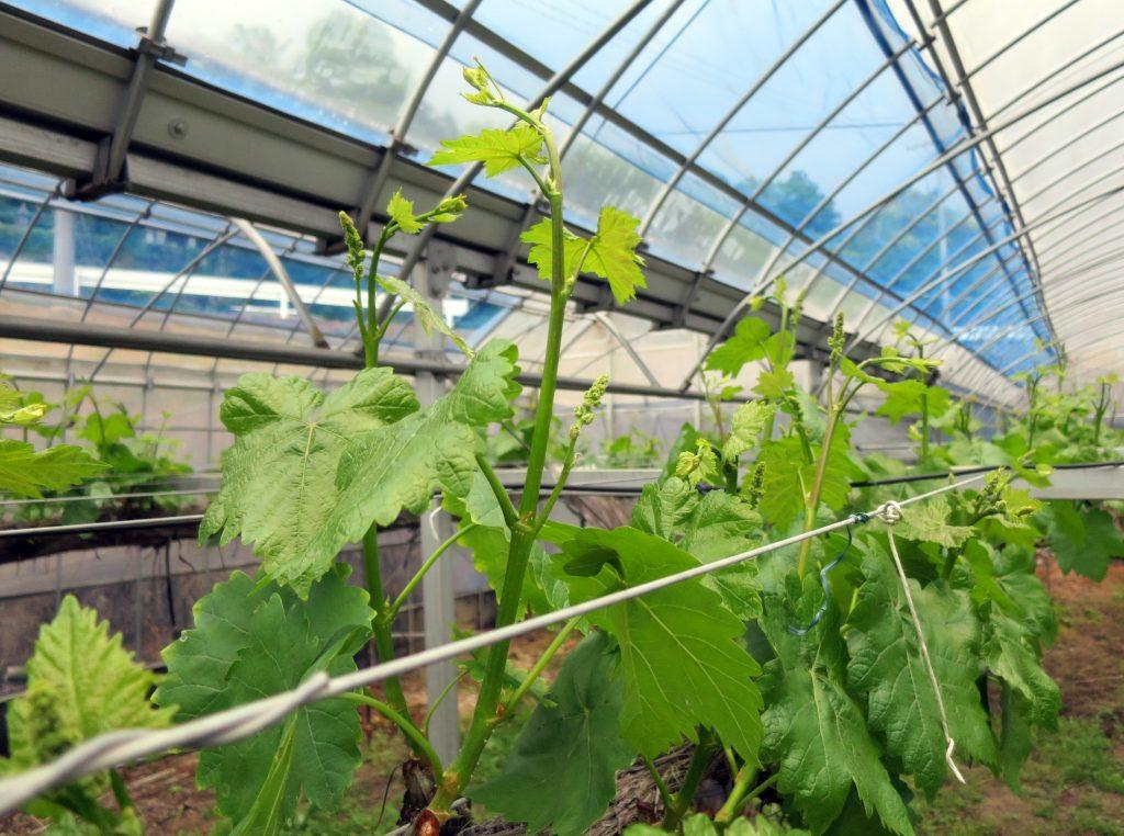 ブドウは育つ、すくすく育つ-曇のち雨