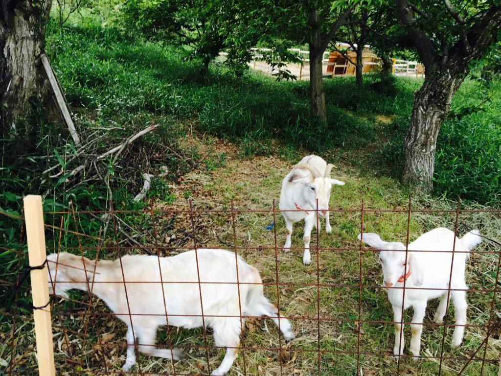 山羊の放牧-晴