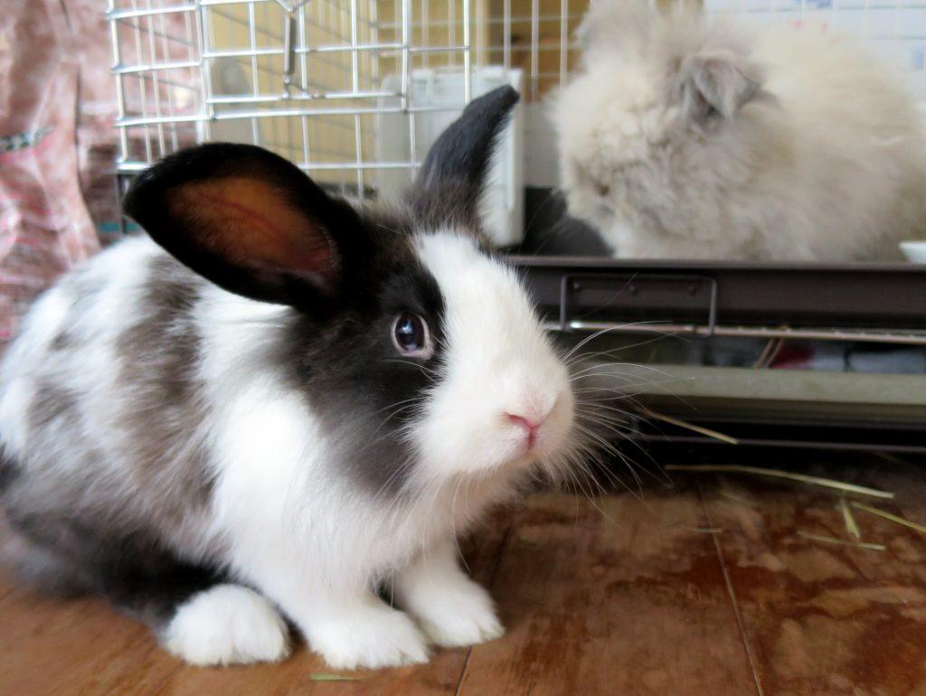 ウサギちゃん生後二か月半-晴