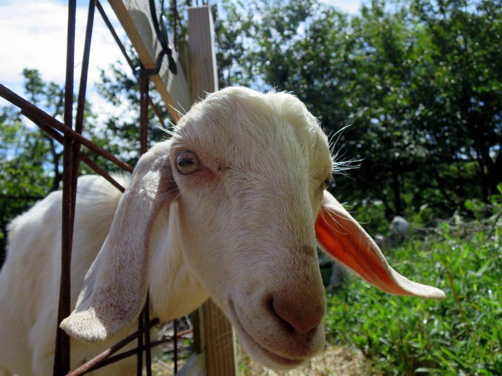 ヤギの放牧-晴